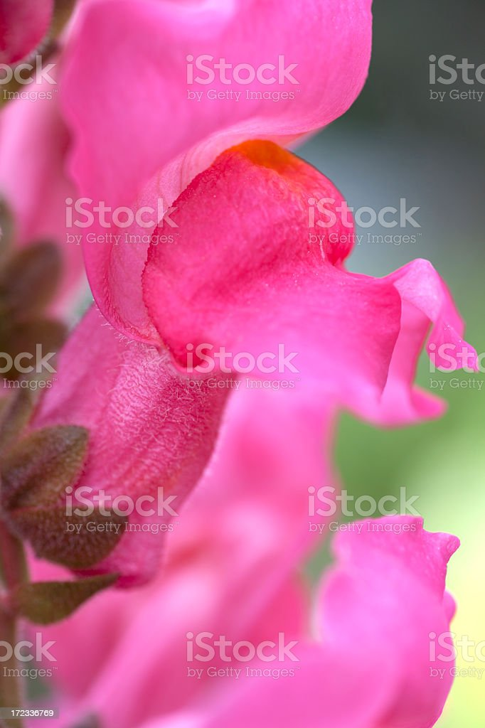 Closeup of a pink snapdragon flower royalty-free stock photo