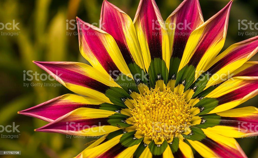 Closeup of a Pink Yellow Green Orange color Gazania flower stock photo