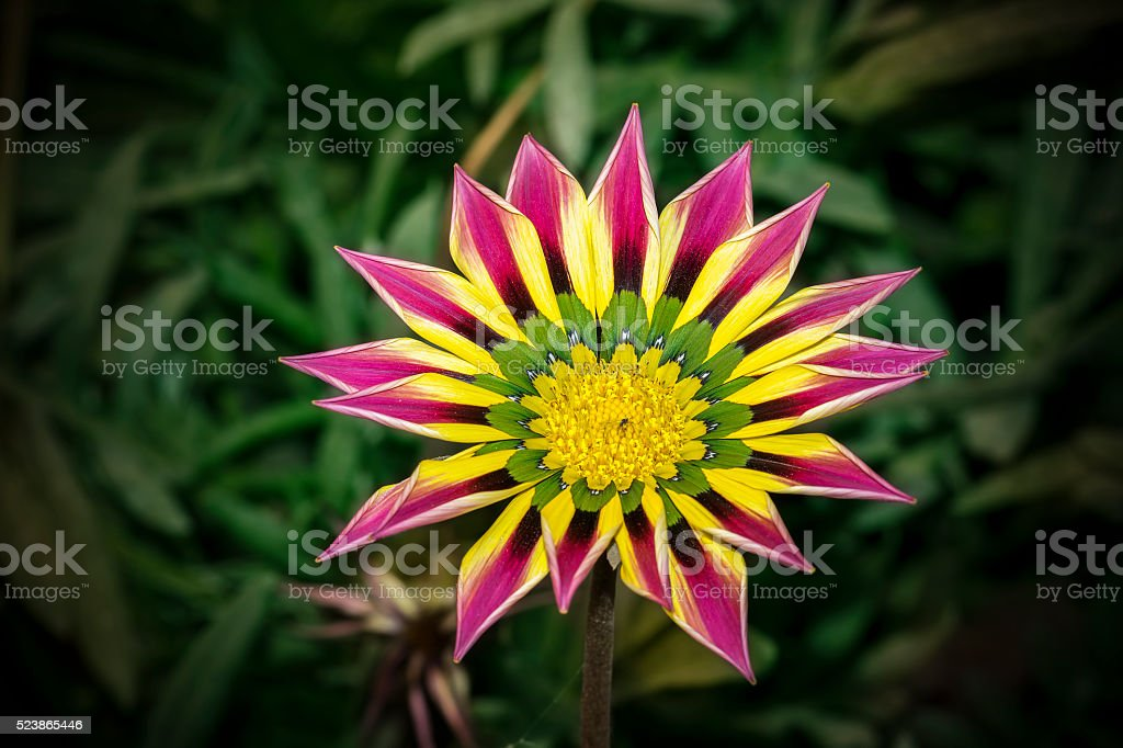 Closeup of a Pink Yellow Green Orange color Gazania flower stock photo