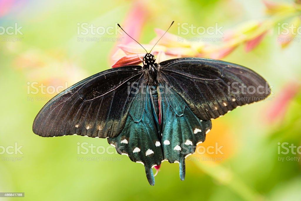 XXXL: Close-up of a pipe vine swallowtail butterfly stock photo