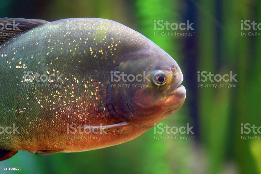 Closeup of a piranha stock photo