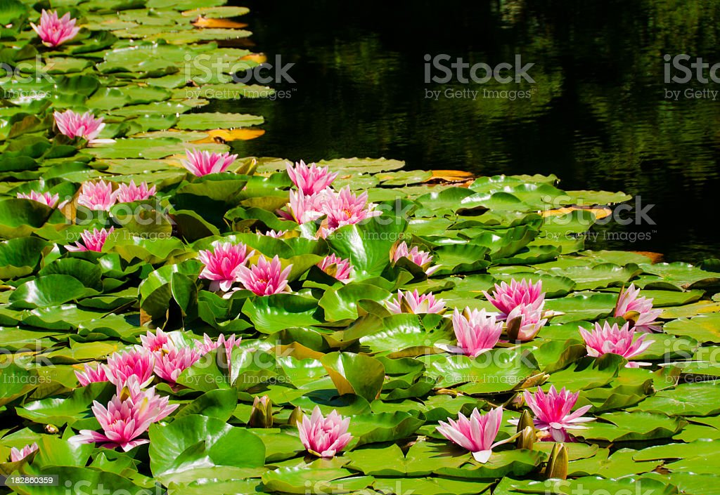 Close-up of a pond with pink water lilies floating on top royalty-free stock photo