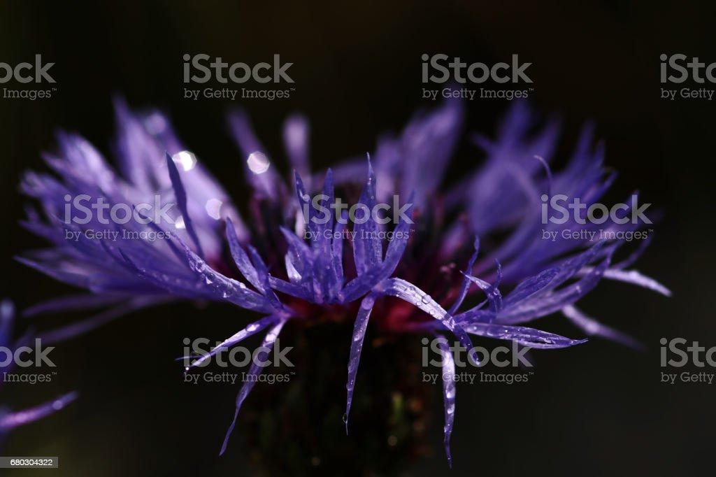Close-up of a purple cornflower stock photo
