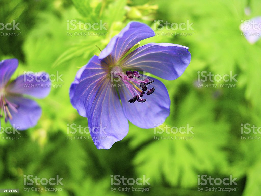 Close-up of a purple flower. royalty-free stock photo