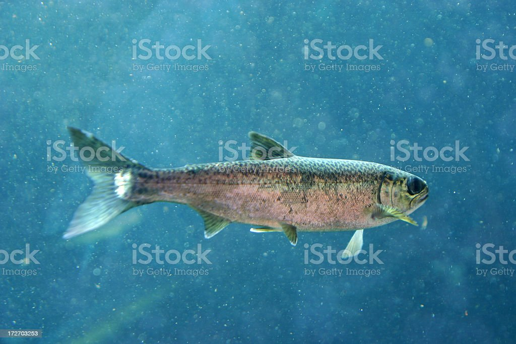 Close-up of a rainbow trout swimming in ocean stock photo