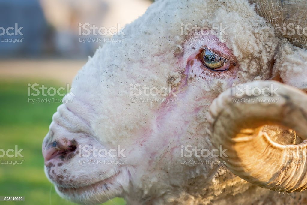 Close-up of a ram head stock photo