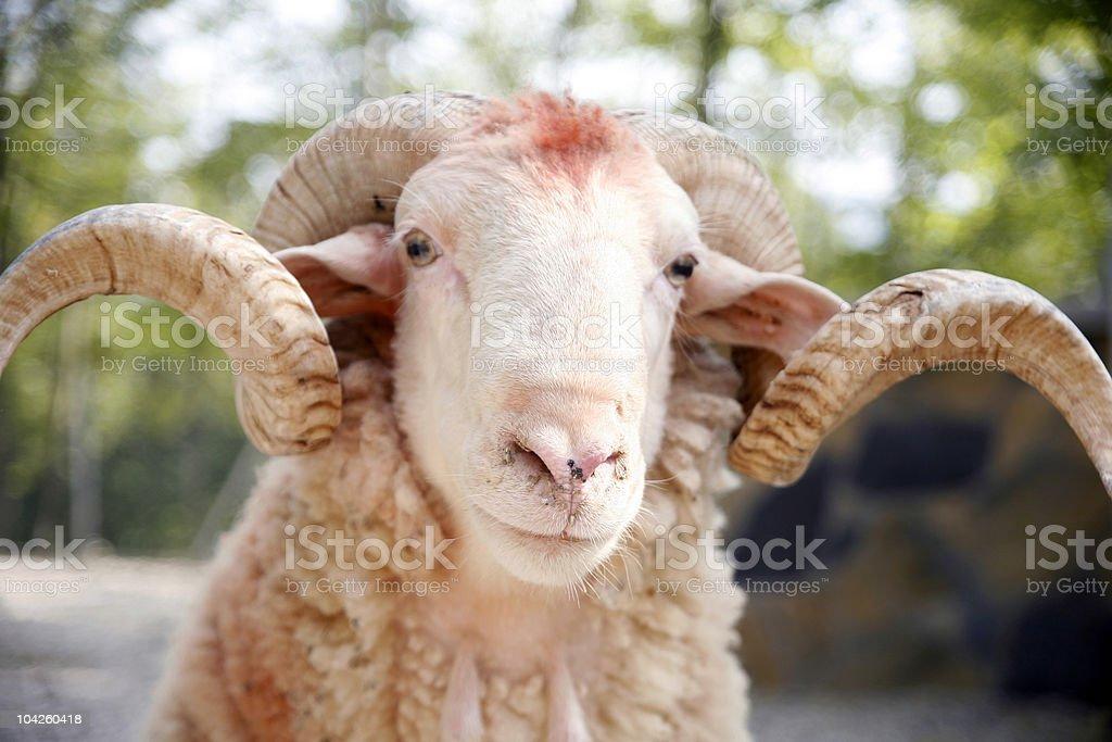 Close-up of a ram stock photo