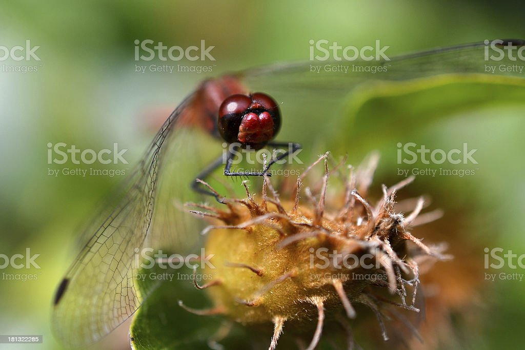 Close-up of a red dragonfly. stock photo