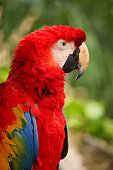 Closeup of a Red Macaw, Cozumel, Mexico.
