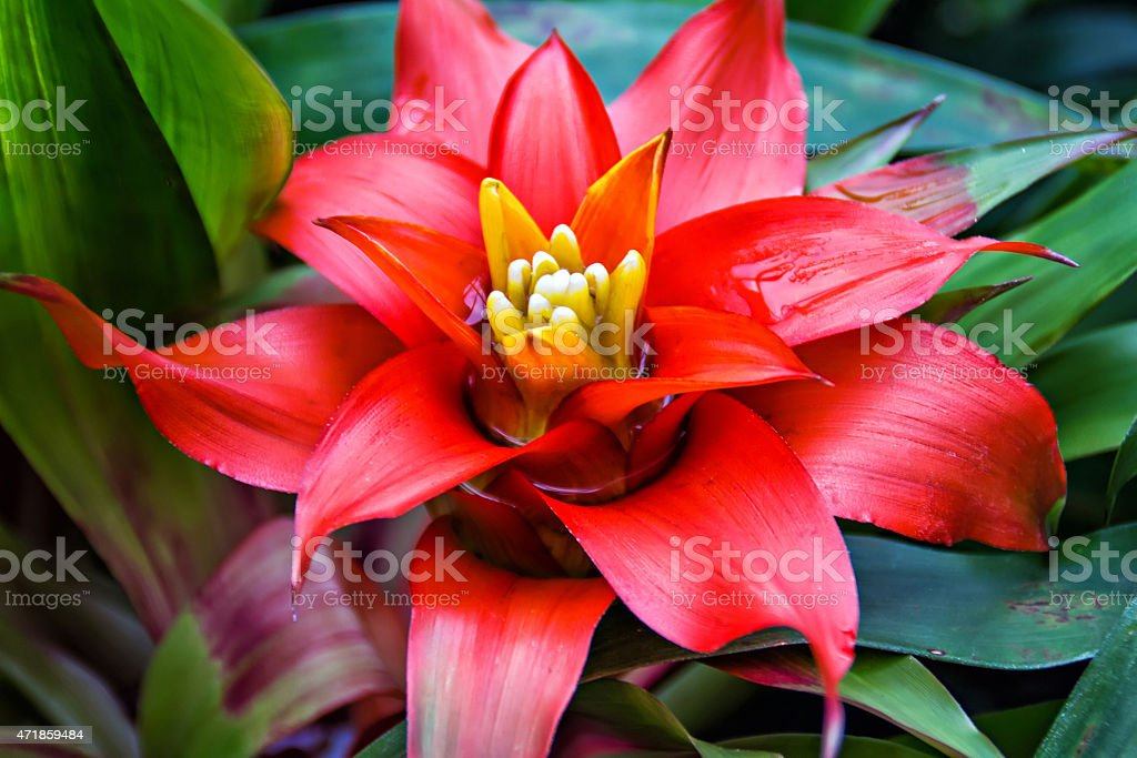 Close-up of a red Nidularium against green leaves stock photo