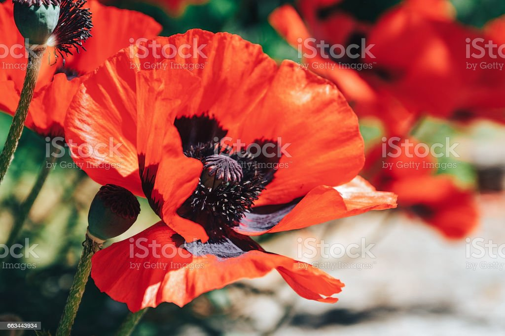 Closeup of a red poppy stock photo