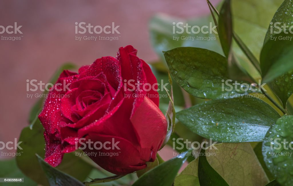 Close-up of a red rose head with dew drops in the green natural background stock photo