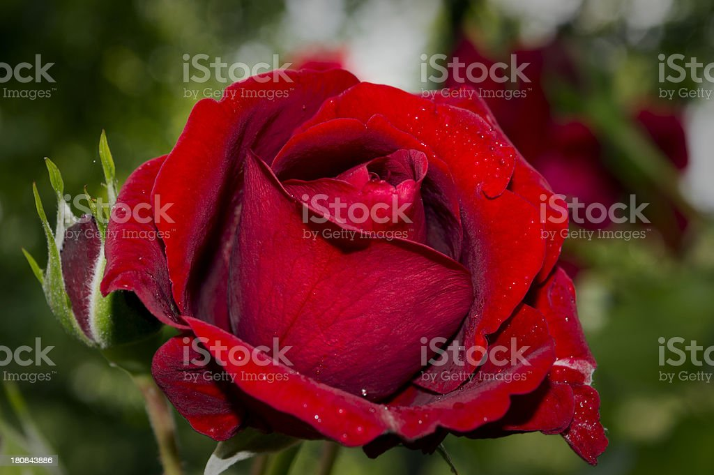 Closeup of a Red Rose royalty-free stock photo