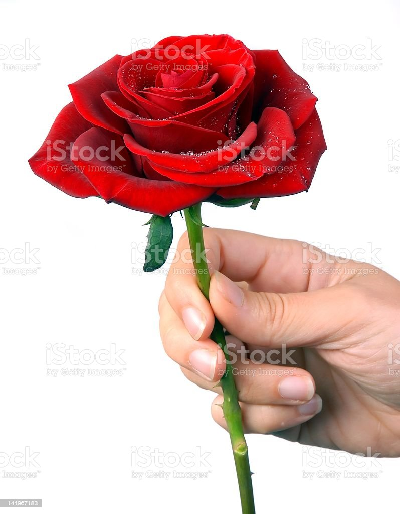 Close-up of a red rose with droplets royalty-free stock photo
