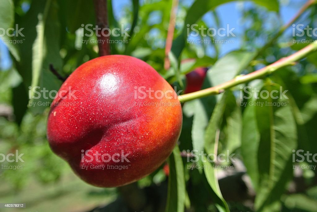 Closeup of a ripe red nectarine on the tree stock photo