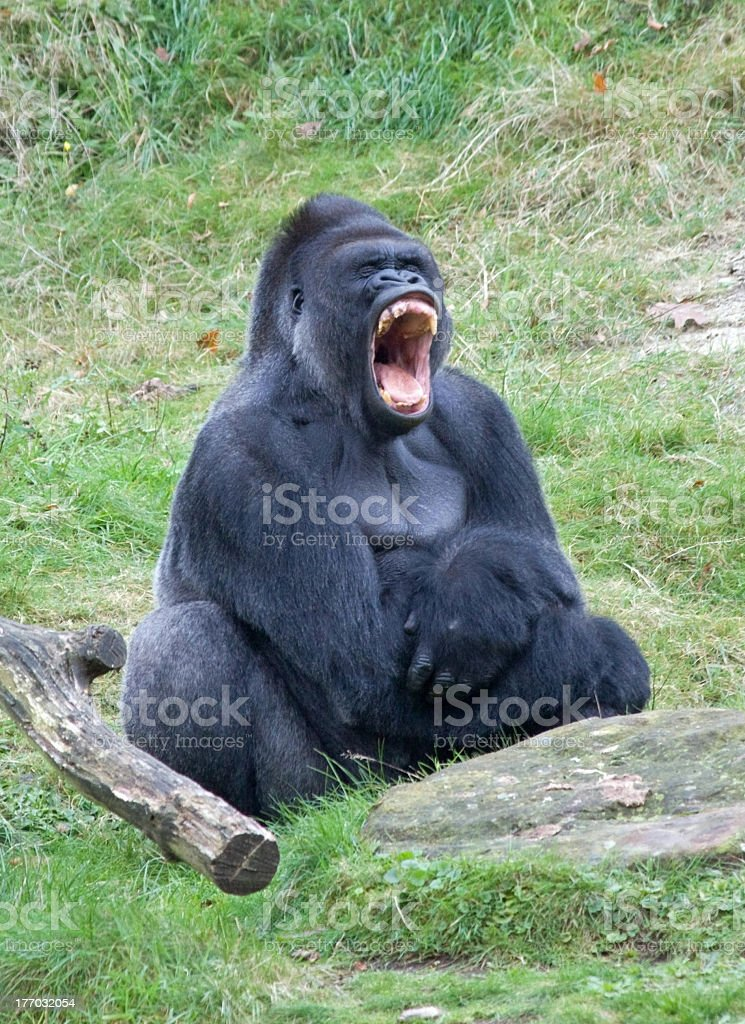 Close-up of a roaring gorilla on grass with mouth open wide stock photo