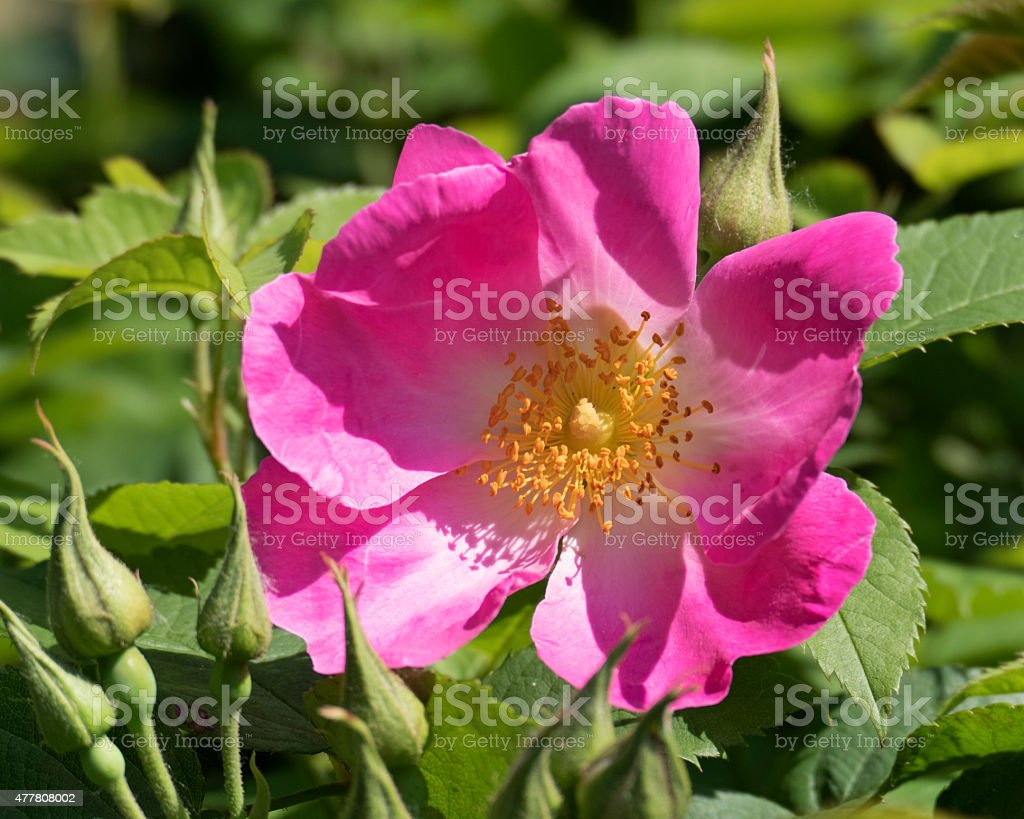 Close-up of a rosa gallica in full bloom stock photo