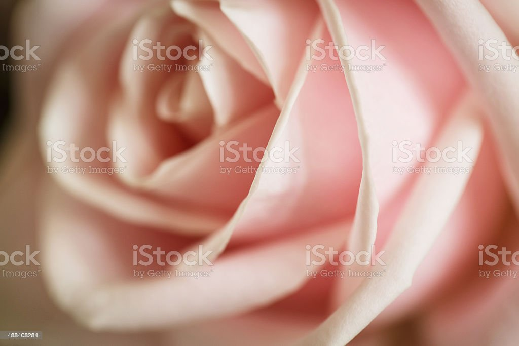 Close-up of a rose stock photo