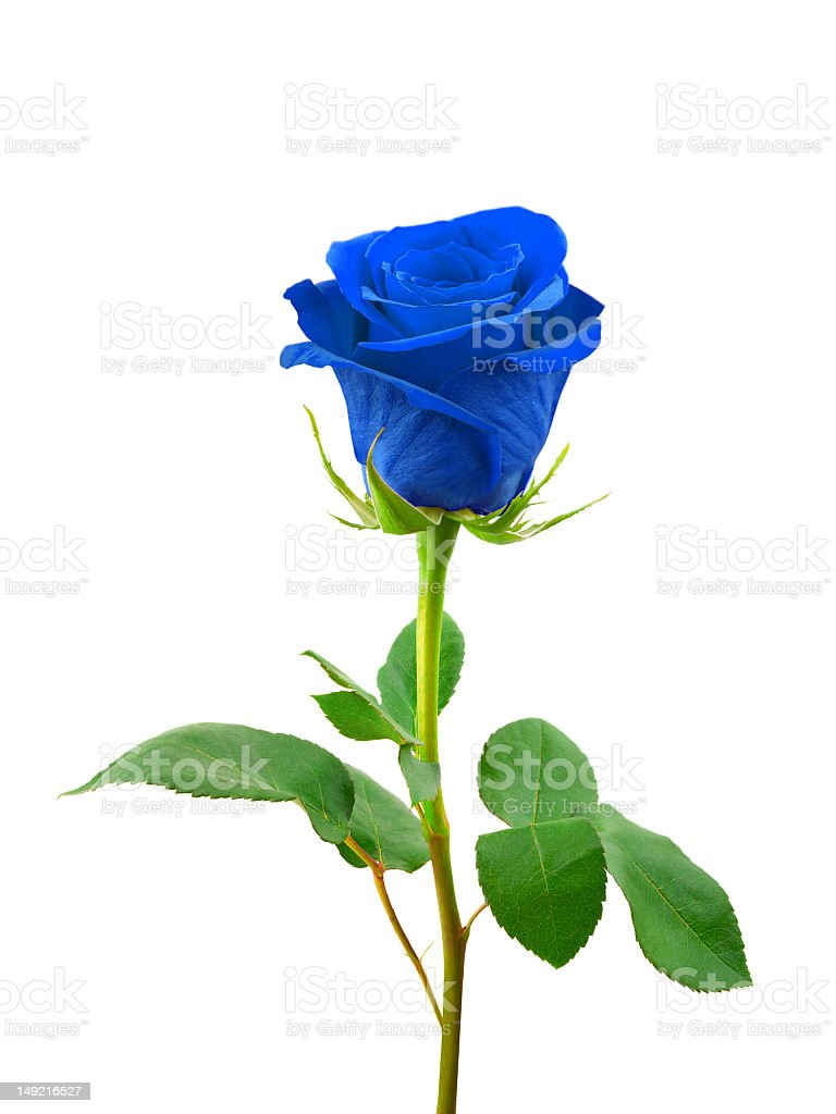 Close-up of a rose with blue petals and green leaves stock photo