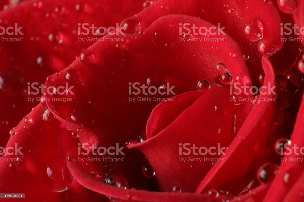 Close-up of a rose with water drops royalty-free stock photo