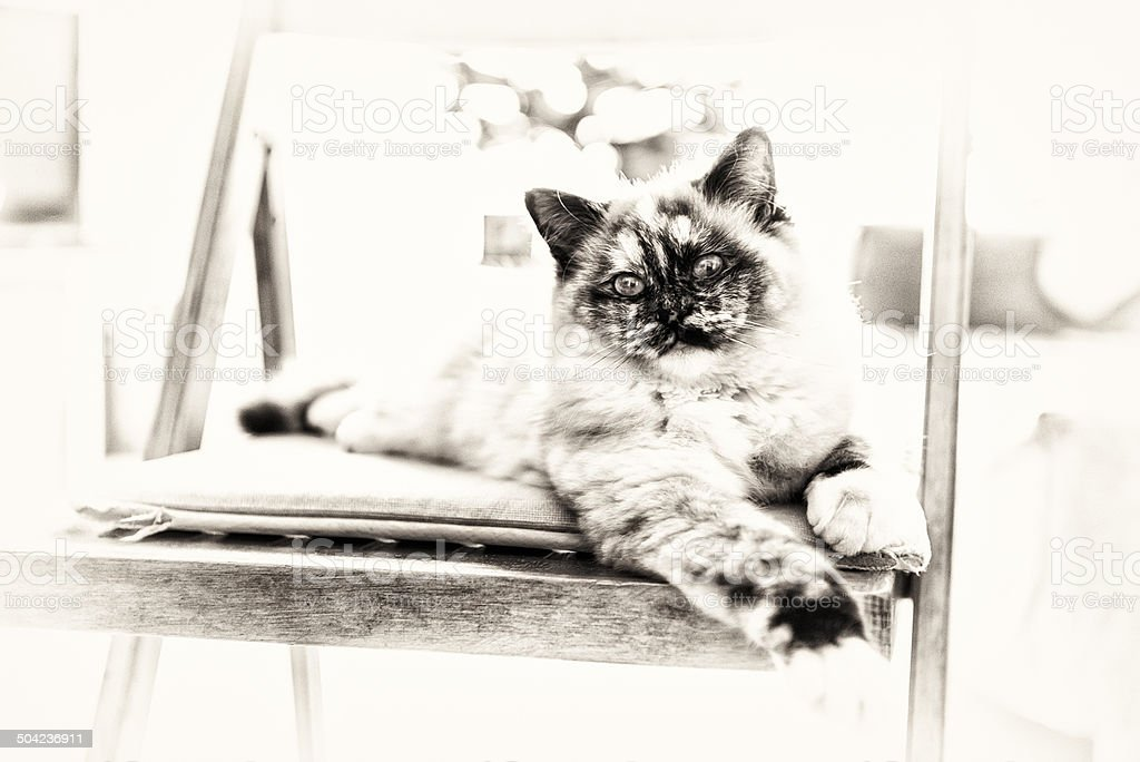 Close-up of a Sacred Birman cat posing on a chair stock photo