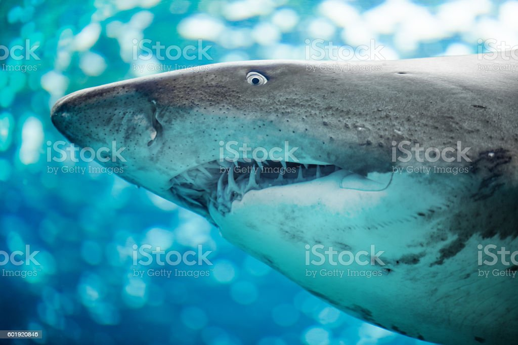 Close-up of a Sand Shark photographed from below stock photo
