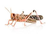A close-up of a schistocerca gregaria, desert locust