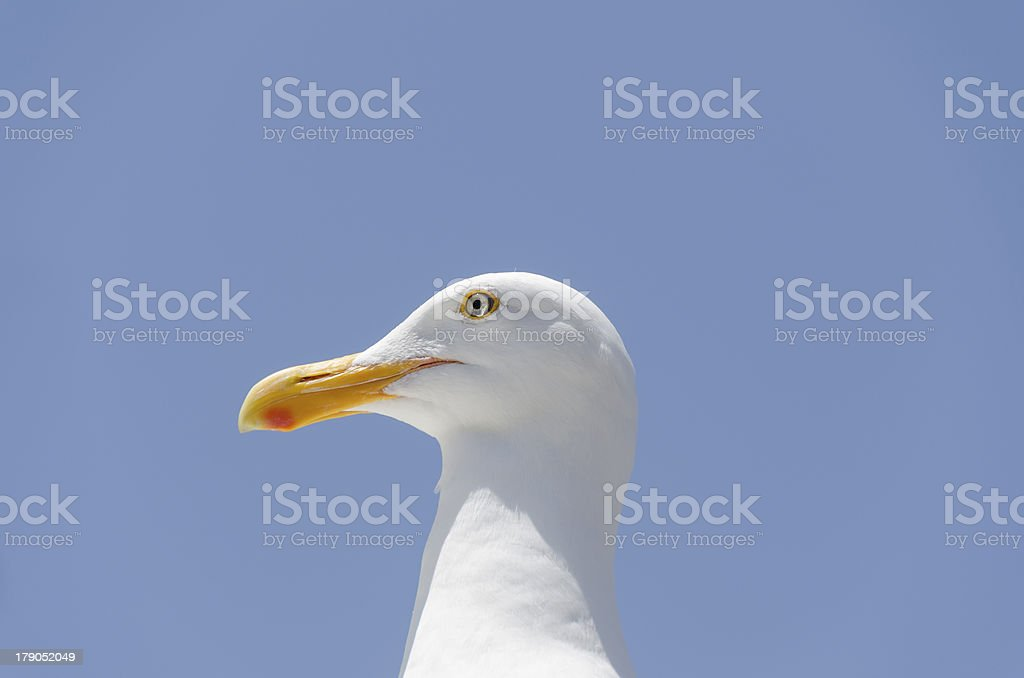 closeup of a seagull royalty-free stock photo