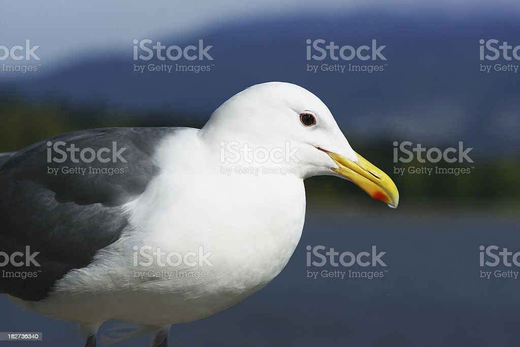 Closeup Of A Seagull stock photo