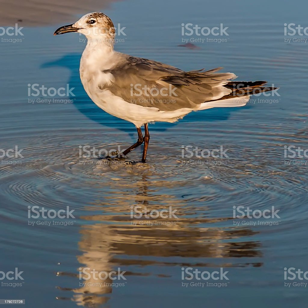 closeup of a seagull walking by the foreshore royalty-free stock photo