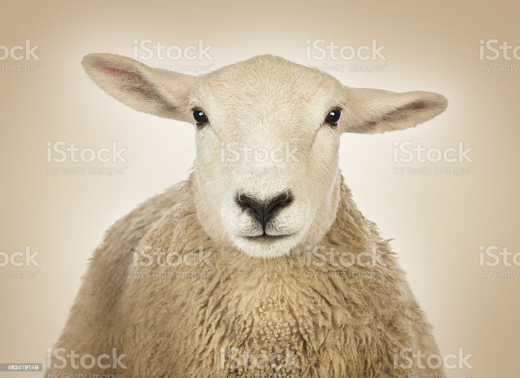 Close-up of a Sheep's head, cream background stock photo