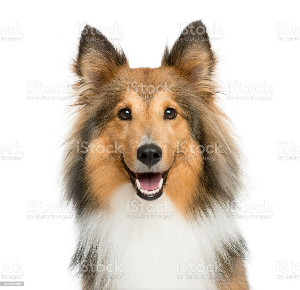 Close-up of a Shetland Sheepdog stock photo