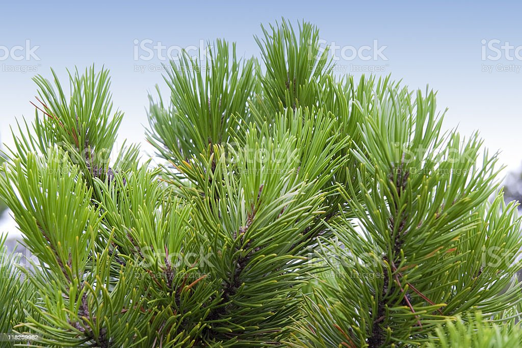 Close-up of a Shore Pine stock photo