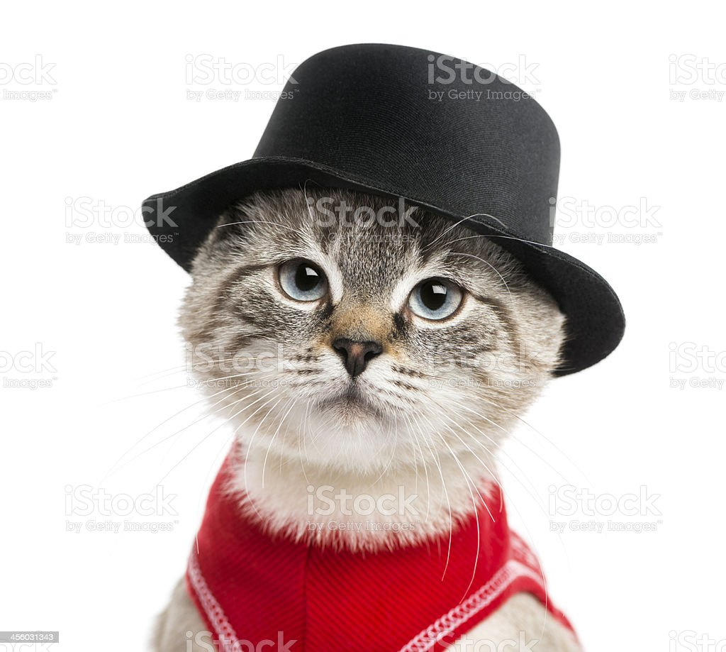 Close-up of a Siamese with red shirt and top hat royalty-free stock photo