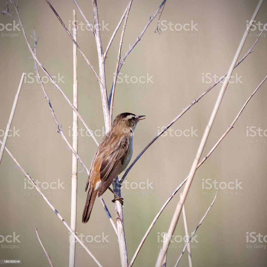 close-up of a singing sedge warbler stock photo