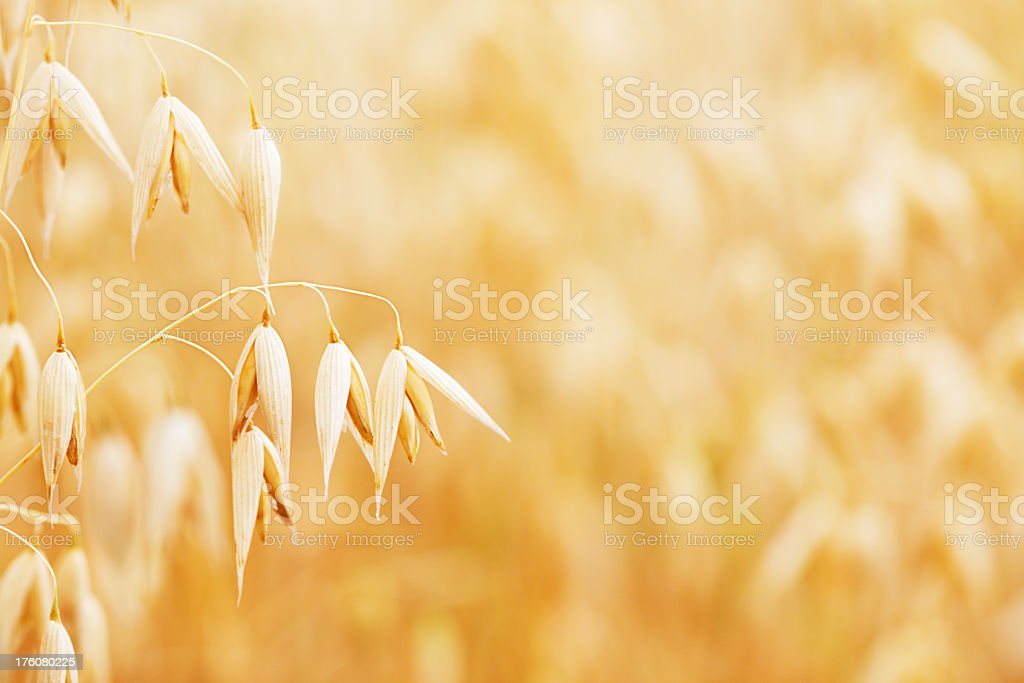 Close-up of a single plant of oat with blurry plantations stock photo