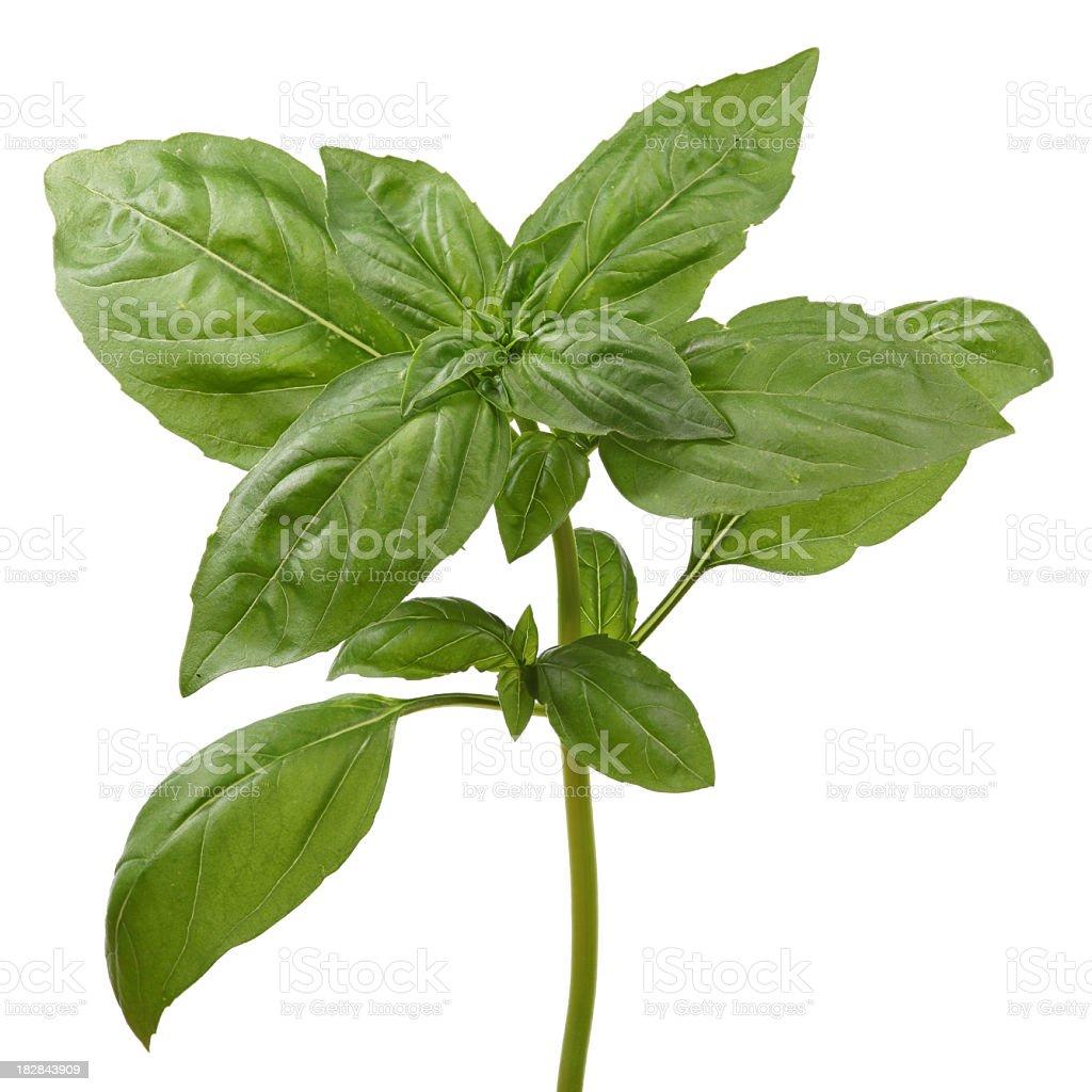 Close-up of a single stem basil plant royalty-free stock photo