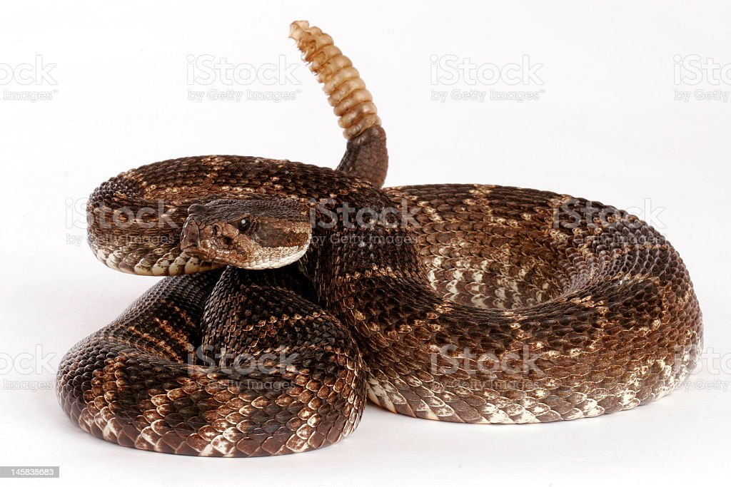Close-up of a Southern Pacific rattlesnake on a white back stock photo