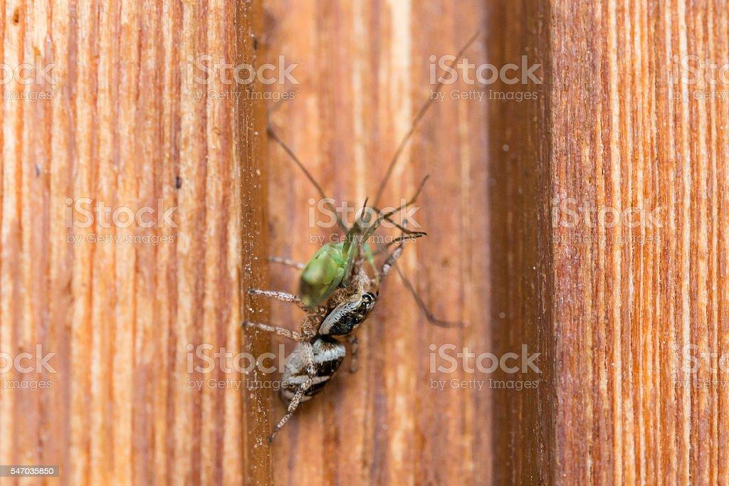Closeup of a spider with a grasshopper as prey stock photo