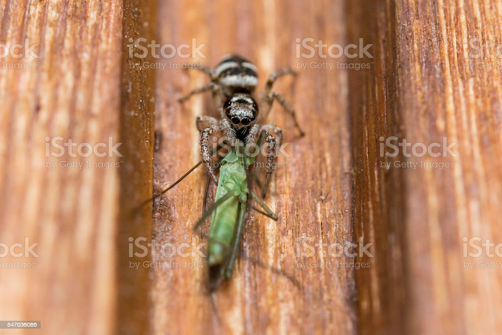 Closeup of a spider with sting and a grasshopper as prey stock photo