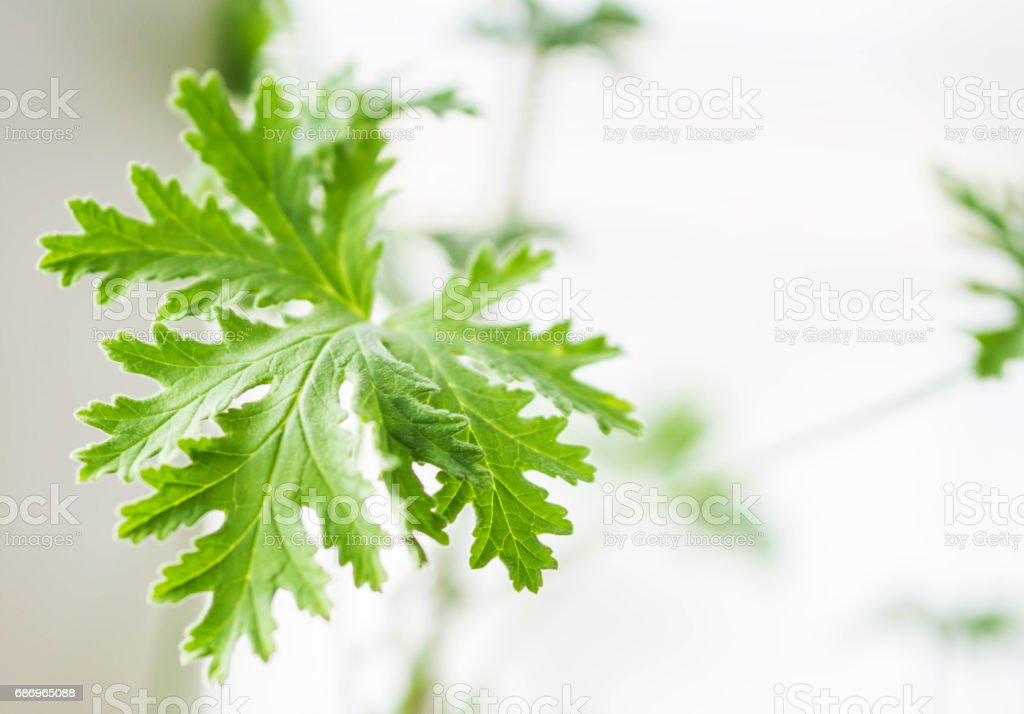 Closeup of a sprig of aromatic geranium spice stock photo