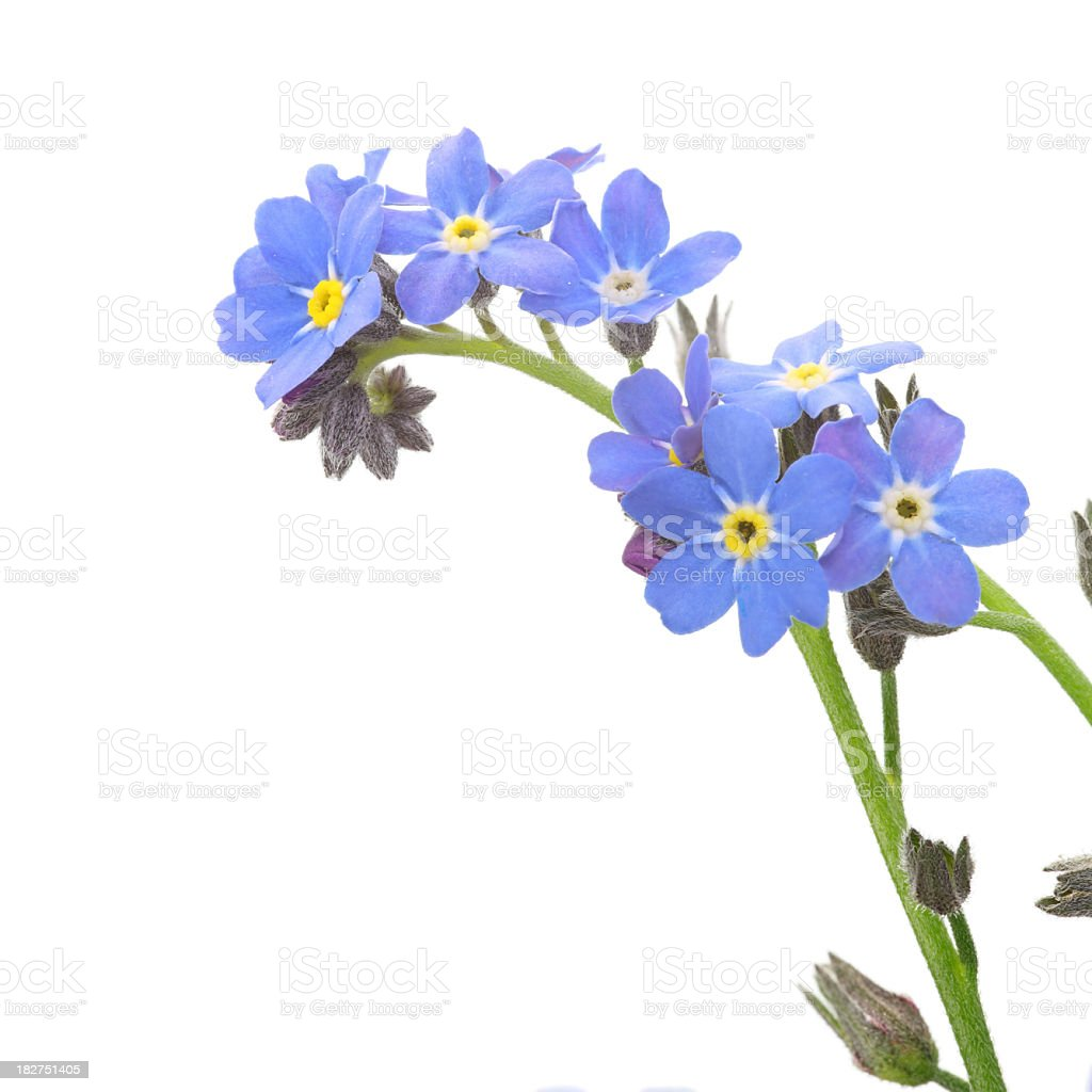 A close-up of a sprig of forget me nots on white stock photo