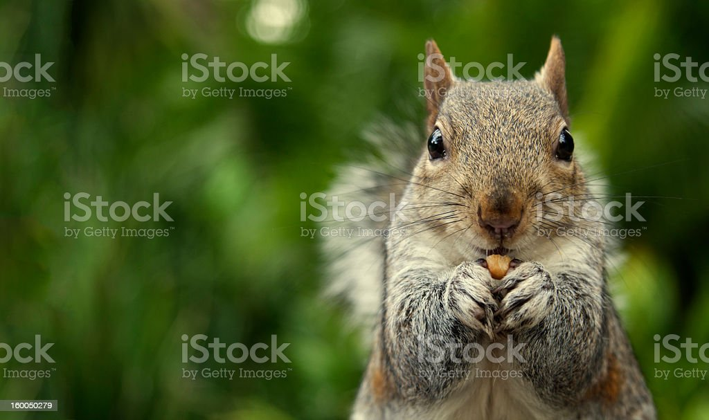 A close-up of a squirrel eating a nut stock photo