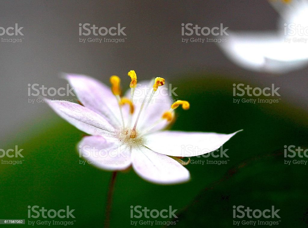 Close-up Of A Star Flower stock photo