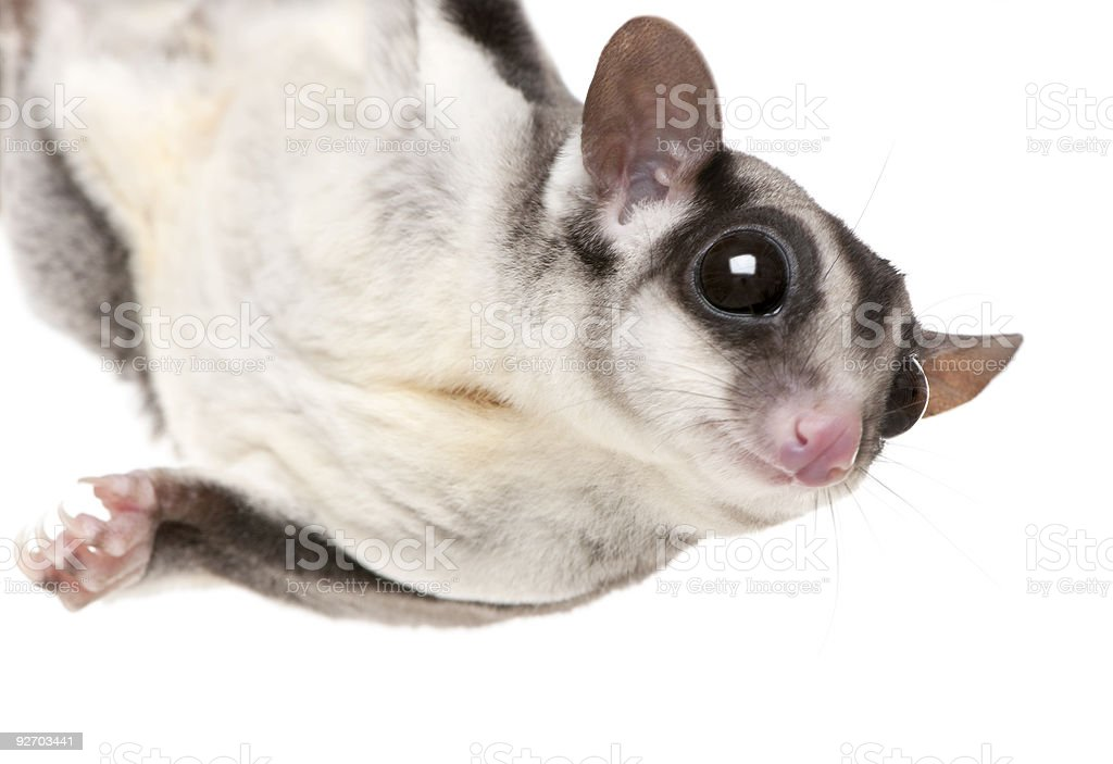 Close-up of a sugar glider on a white background stock photo