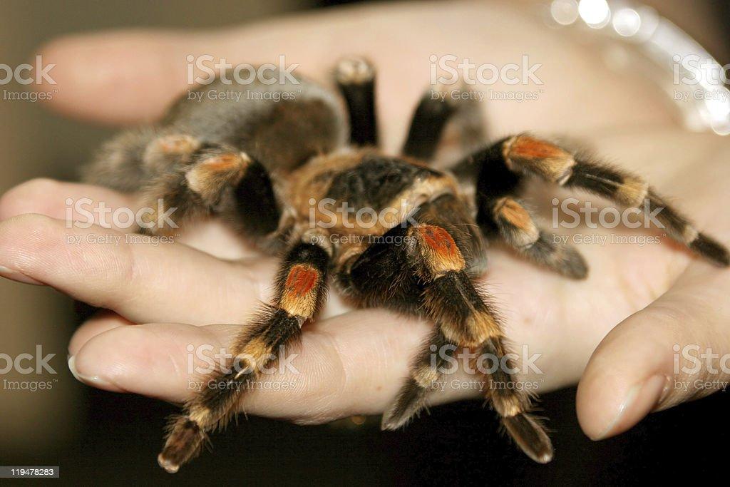 Close-up of a tarantula on a hand stock photo
