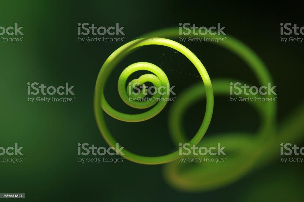 Closeup of a tendril stock photo