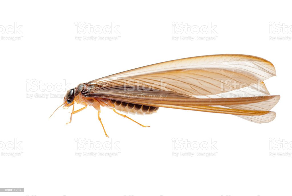 A close-up of a termite ant with its long wings royalty-free stock photo