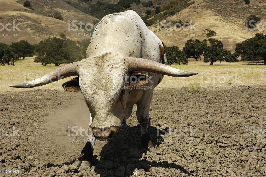 Close-up of a Texas Longhorn Bull royalty-free stock photo