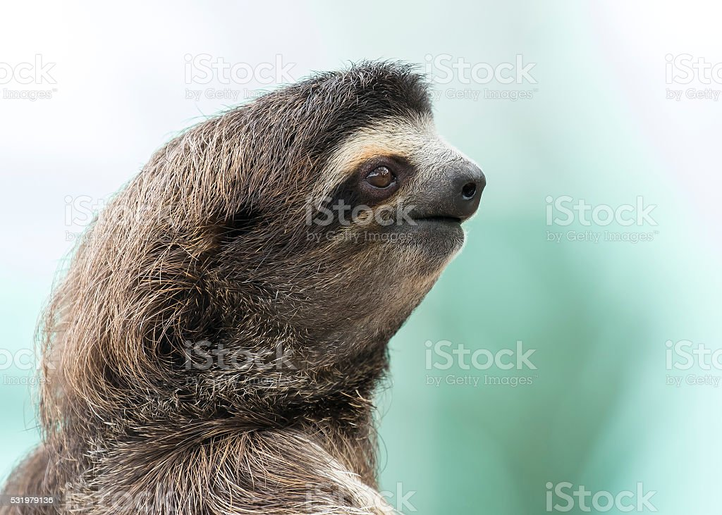 Closeup of a Three-toed Sloth - Panama stock photo
